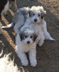 View Ad: Great Pyrenees-Komondor Mix Puppy for Sale