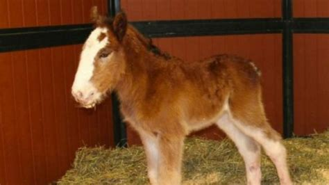 New Super Bowl Star: Baby Clydesdale May Appear in Beer